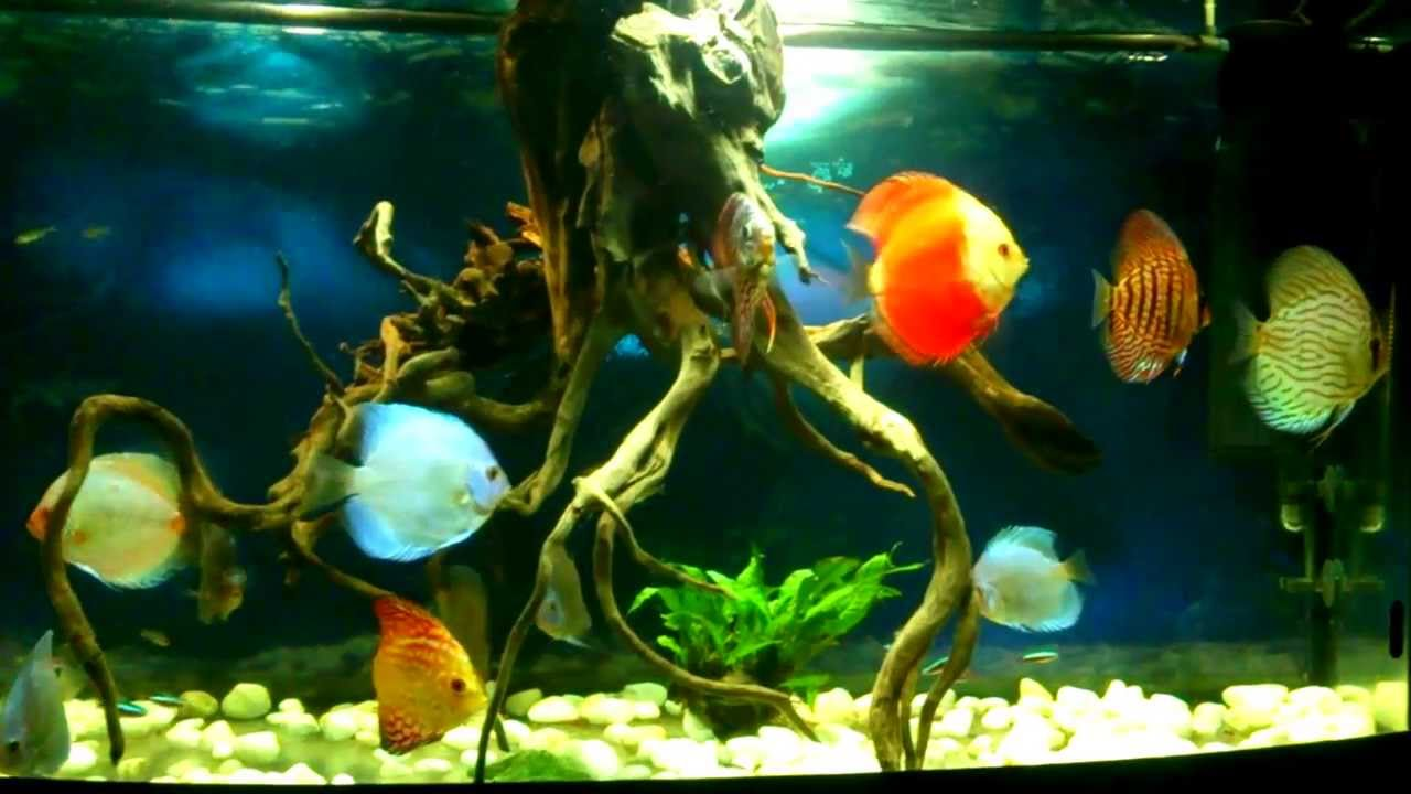 Beautiful fishes for home aquarium - photo#22