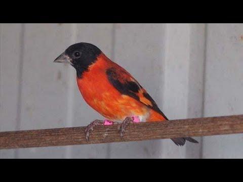 Irama Riuh Burung Red Siskin Gacor Bernada Tinggi