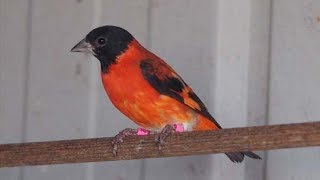 Videos Red Siskin Wikivisually