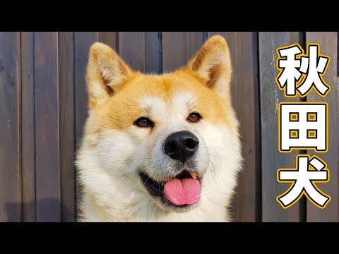 AKITA INU - WHAT MY JAPANESE AKITA DOG DOES ALL DAY | A DAY IN THE LIFE OF YUKI ()