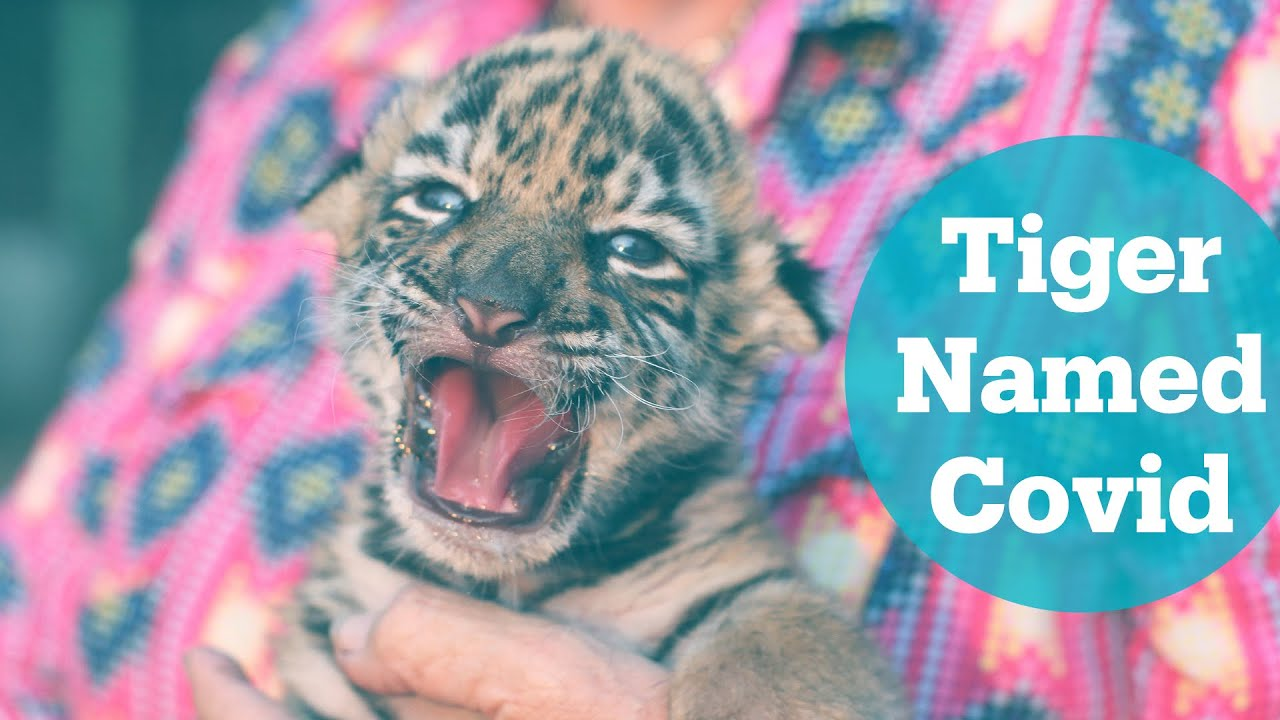 Baby tiger born at zoo in Mexico named 'Covid'