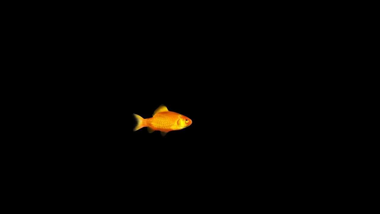 Animated 3d Wallpaper Gifs Looping Gold Fish Animation Hd Loop Youtube