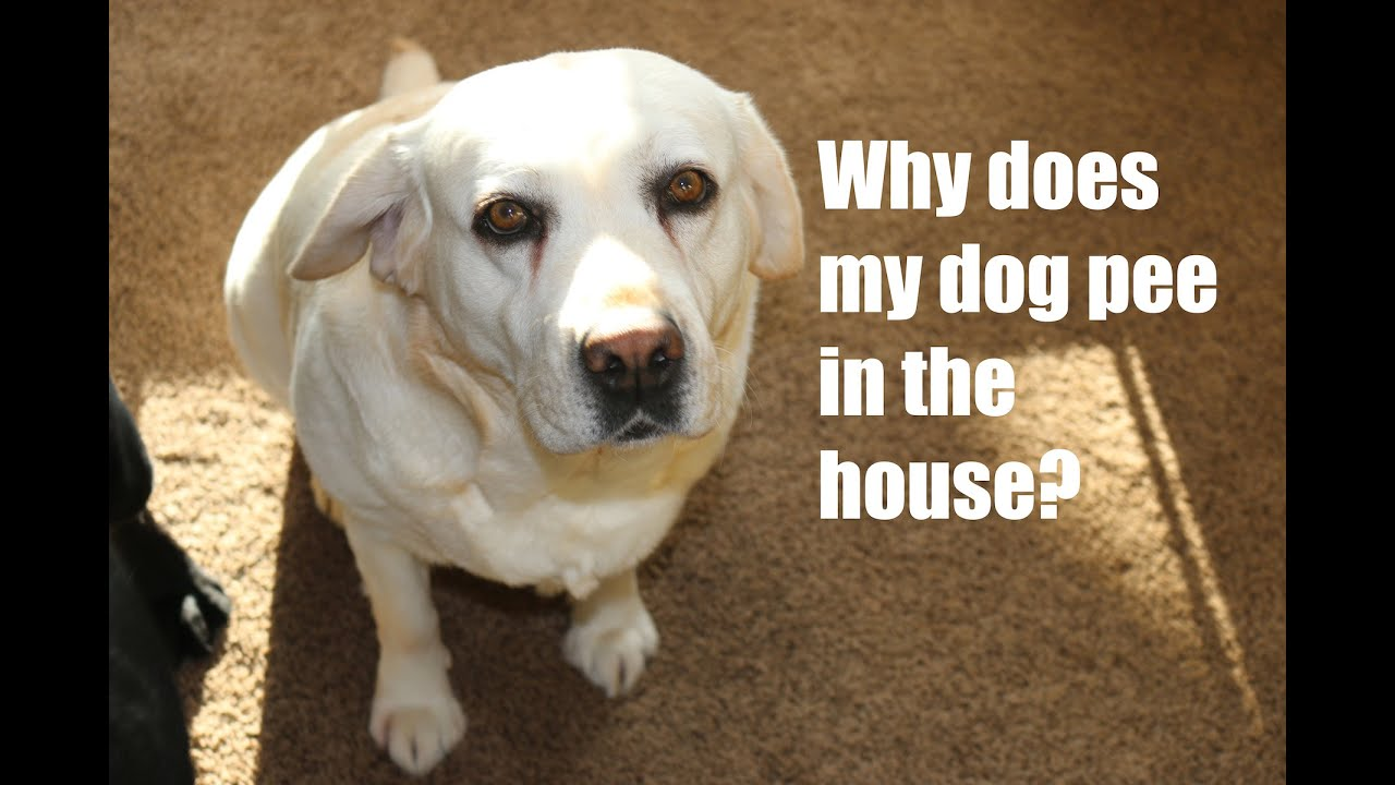 Why Does My Dog Pee in the House? - YouTube