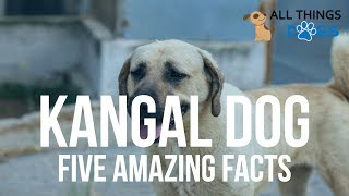 Turkish Kangal Dog: 5 Amazing Facts
