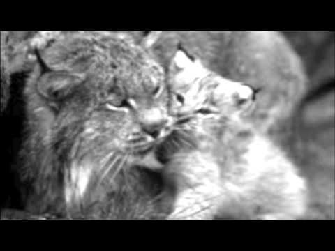 S.I.L.F (Saving the Iberian Lynx Foundation)