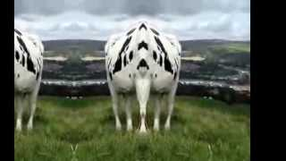 THE COW IS THE MOST GIVING ANIMAL ON EARTH NOTHING COMPARES TO IT,A...