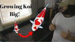 How to grow big koi - The Key to koi growth