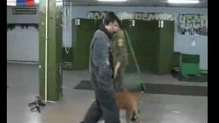 Pitbull Vs Criminal - K9 Police Dog Training