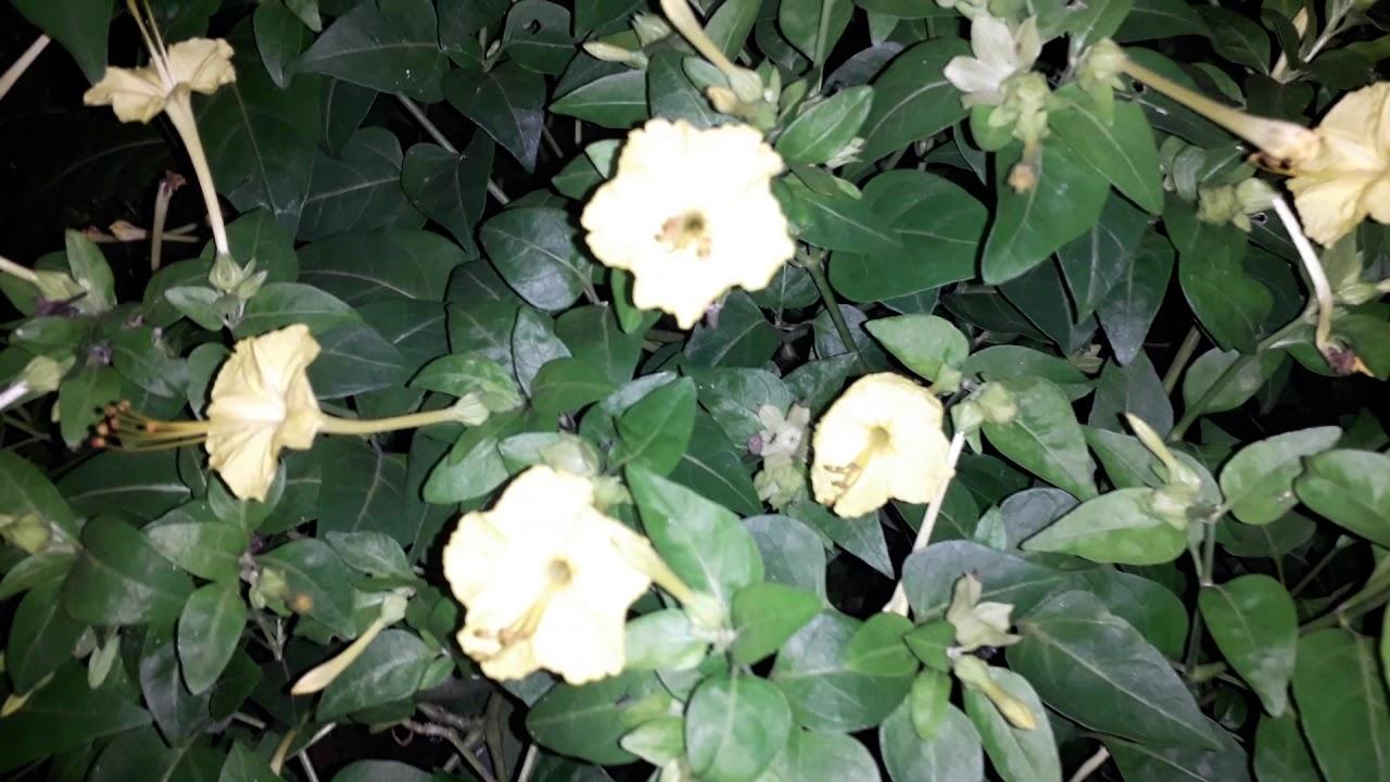Bunga Pukul Empat Mirabilis Jalapa Youtube