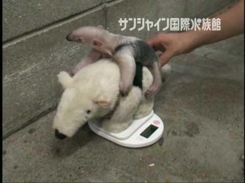 ミナミコアリクイの赤ちゃん動画(2009/05/05)