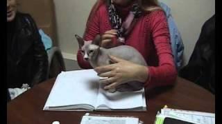 Канадский сфинкс - порода кошек