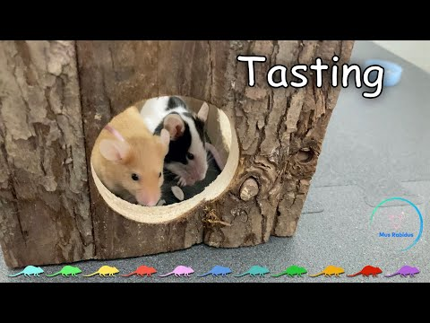 (4K) Tasting - MUS RABIDUS 🐭