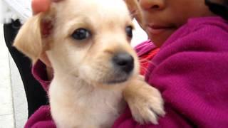 CUTEST CHIHUAHUA TERRIER MIX PUPPY VENICE BEACH CALIFORNIA NOV 16 22, 2011 066