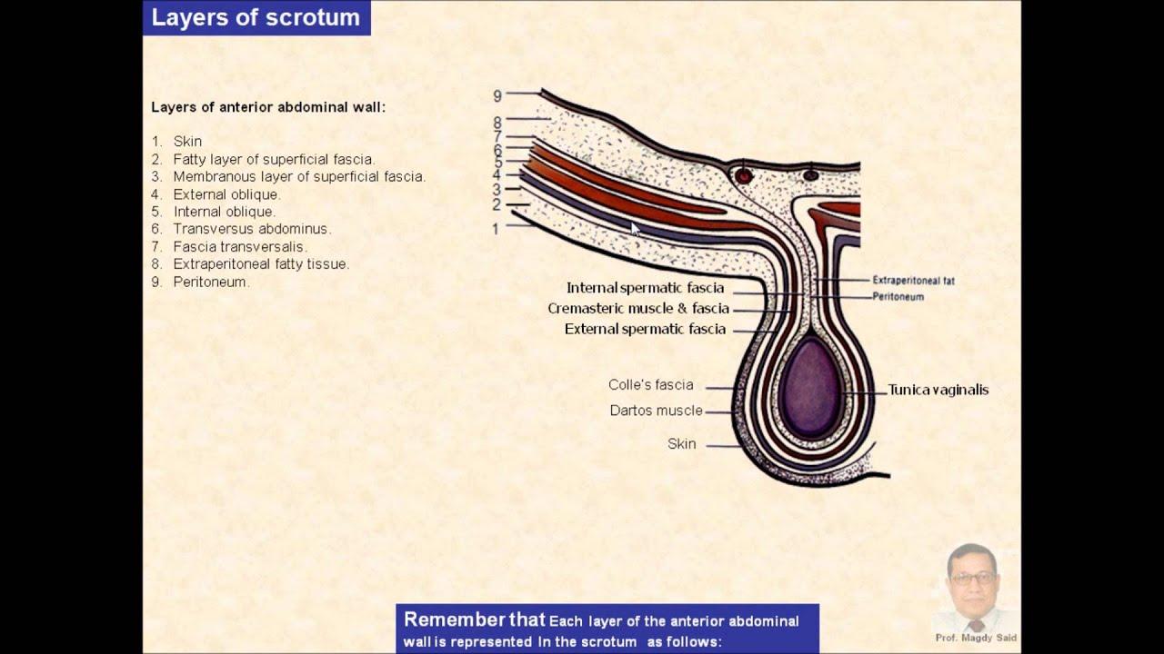 Magdy Said,Anatomy Series,Abdomen,7- scrotum - YouTube