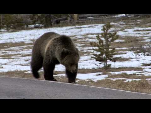 Grizzly Bear Encounters