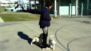 Puppy Training Recall Labrador Chester And Carmel Corm