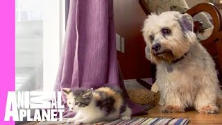 Kitten and Grown Dogs Meet for First Time | Too Cute! thumbnail