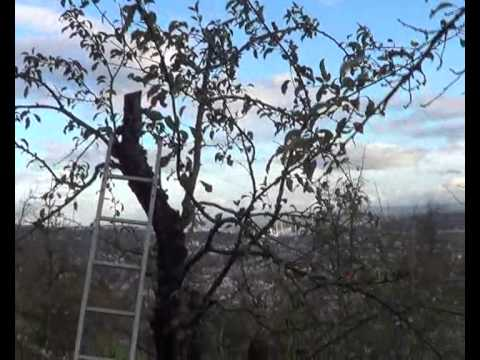 Pruning And Reshaping Old Apple Trees Youtube