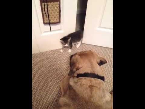 Kitten Scares Big Dog (VIDEO)