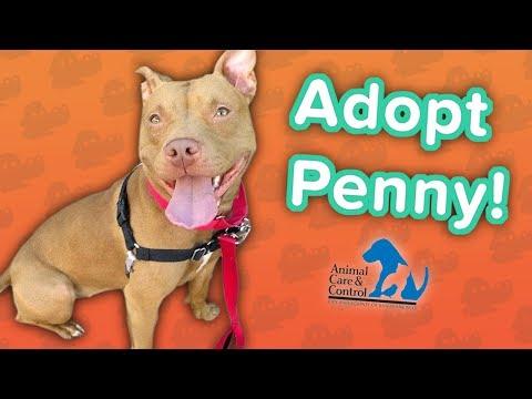 Adopt Penny! // Pit Bull Mix // Adoption Featurette
