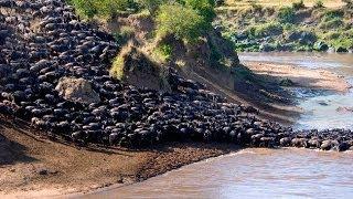 Wildebeest Migration Ngorongoro Crater- Tanzania
