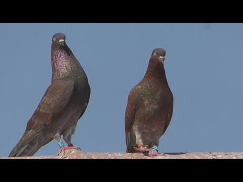 Group pigeons birmingham roller  and oriental roller in sud algeria .KLD DZ PIGEON 2018
