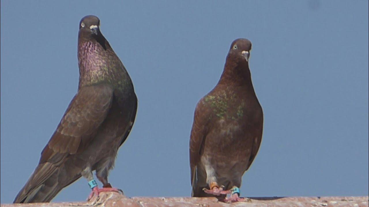 Group pigeons birmingham roller and oriental roller in sud algeria