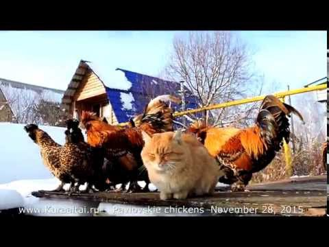 Siberian Farm cats  and Pavlovskiy Rooster  Кот и Петух 28 ноября 2015
