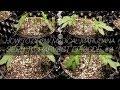 How to Grow Medical Marijuana Seed to Harvest E8 - Mainlining Step 1