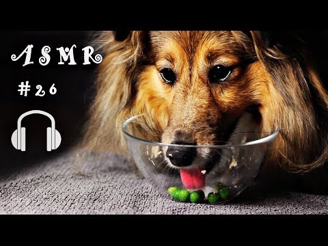 #26 Dog Eating Dinner Sheltie Dog (Shetland Sheepdog)