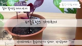 플랜테리어 퍼플프린스 가지치기 삽목과 수경재배 풀잎사랑…