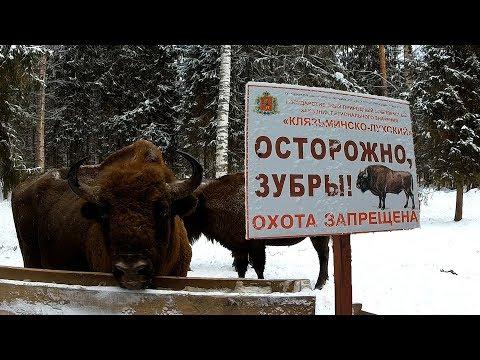 Тропой могучего Зубра.  Животные красной книги России. Европейский зубр.