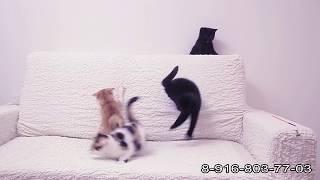 """Шотландские котята Питомник """"Мио Дель Мар"""""""