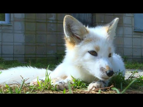 AFP News Agency: Domesticated foxes in Siberia offer scientific insights   AFP