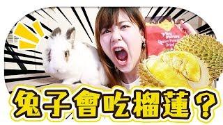 【實驗】兔子會吃榴蓮嗎?!吃到榴蓮的反應居然是OO?!【Utatv】