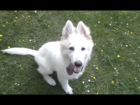 White German Shepherd puppy - 4 Months old