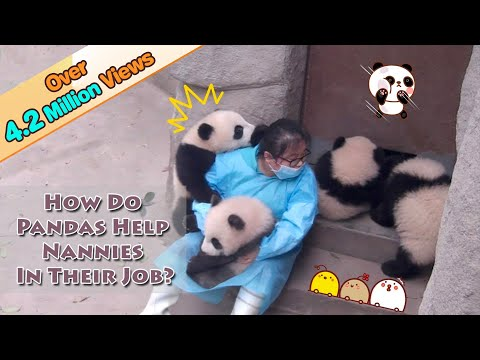 【Panda Theme】How Do Pandas Help Nannies In Their Jobs? | iPanda