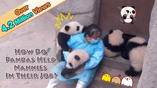 【Panda Theme】How Do Pandas Help Nannies In Their Jobs?   iPanda