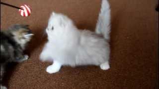 Персидские котята. Кошки шиншиллы. Питомник Келевра