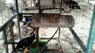 Burung Tiong Gembala Kerbau kek kobun Joyah