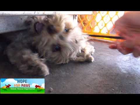 Tiny Yorkie almost gets crushed by propane tanks! NEW Hope For Paws rescue video!