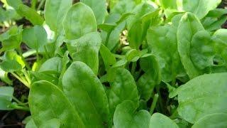 Посев семян щавеля. Посадка и выращивание щавеля.