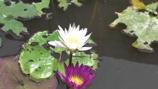 Лотос - символ духовного пути. Видео из Таиланда.(Это видео я снял во время зимовки в Таиланде на остове Панган (Пханган, Koh Phangan). Комментирует Павел Бондарев...., 2014-04-26T02:58:43.000Z)