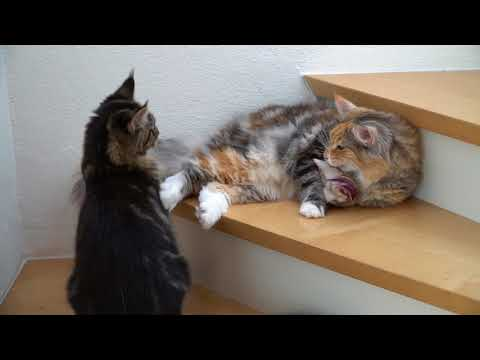 Maine Coon and Norwegian Forest cat playing