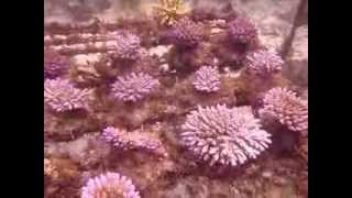 Cultured Coral Farm (Part 1)