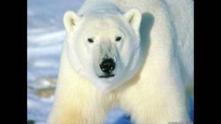paso de ovejas - el oso polar - nelson kanzela - dj shalim