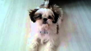 videos shih tzu bravo  latindo com 3 meses