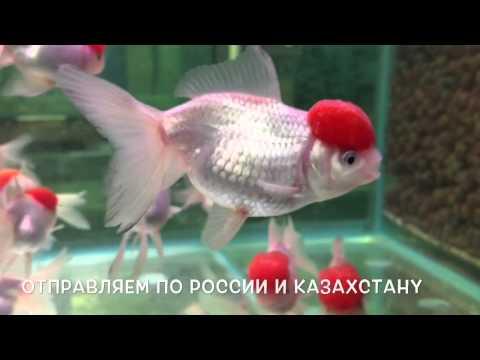 Оранда Красная Шапочка  Carassius Auratus Red Cap Oranda пр