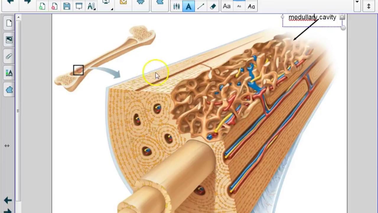 Histology Of Bone Tissue Youtube