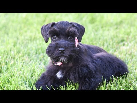 SMART & ADORABLE Miniature Schnauzer Puppy For Sale - TRAINED!